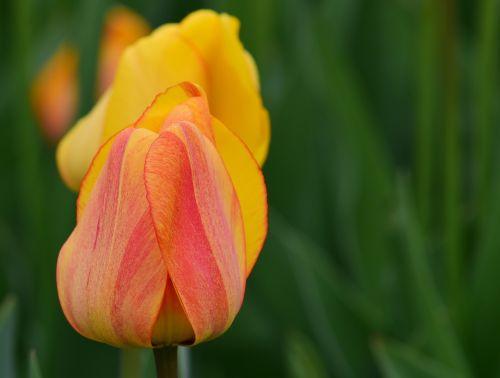 tulpės,geltona,pavasaris,gėlės,pavasario gėlė,skintos gėlės,geltonos gėlės,geltonos tulpės,gražus,atvirukas,spalva,spalvinga,šviesus,uždaryta,uždarosios tulpės
