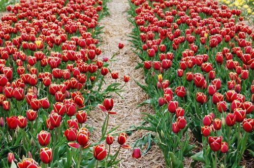 tulpės,plantacija,iškylai,laukas tulpių,gėlės