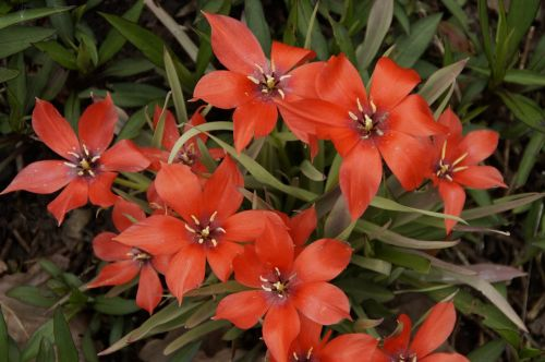 tulpės,gaudy,spalva,spalvinga,pavasaris,gėlės