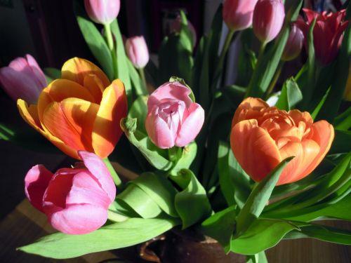 tulips flowers plant