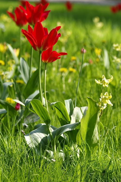 tulips red meadow