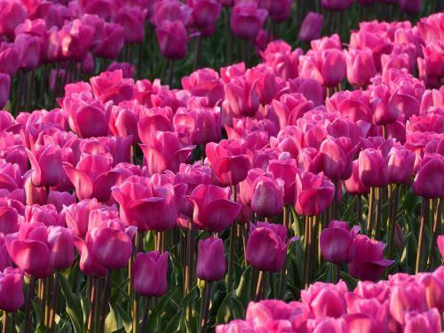 tulips bulbs bulb