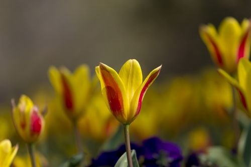 tulips nature flower