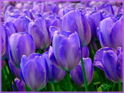 tulpės,tulpių laukai,pavasaris,gėlė,gamta,tulpė,gėlės,žydėti,žydėjo,žalias,violetinė,violetinė,laukas,spalva,spalvinga,tulpių laukas,tulpenbluete,žiedas,dekoratyvinis augalas,žiedas,žydėti,Uždaryti,flora,augalas,žiedlapiai