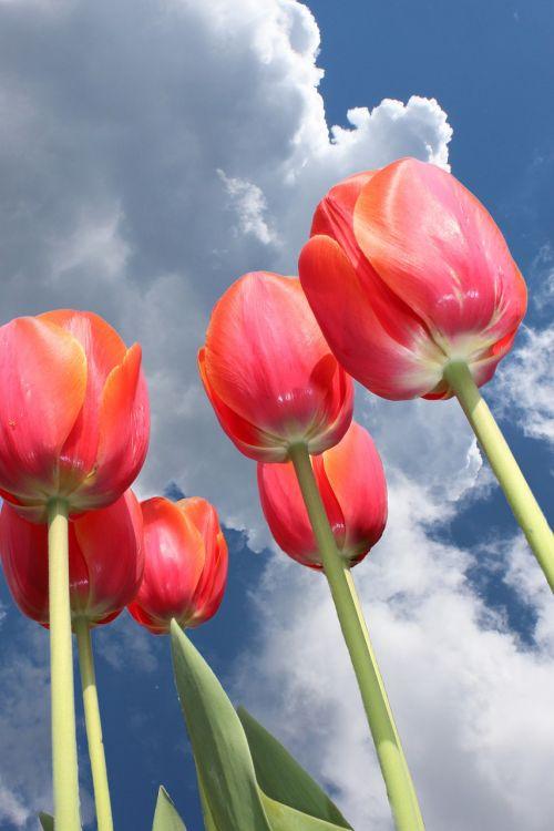 tulips sky clouds