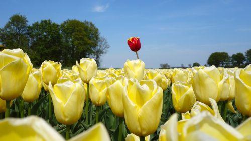 tulips bulbs tulip