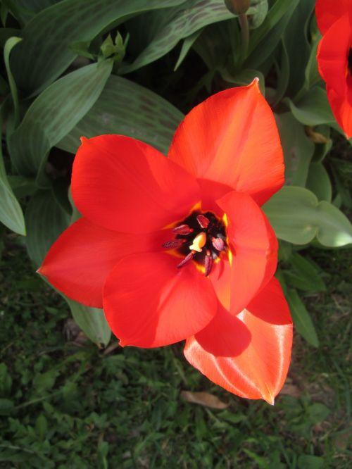 tulpės,tulpė,pavasaris,vasaros pradžia,raudona,raudona tulpė,gėlė,gėlės,augalas,sodas,spalvinga,vasara,sodinti,augalai,žydėjimas,žalias,raudona gėlė,raudonos tulpės