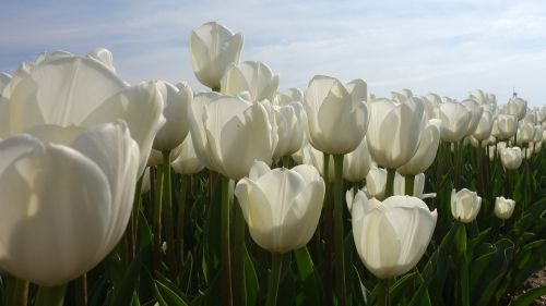 tulips white tulip fields