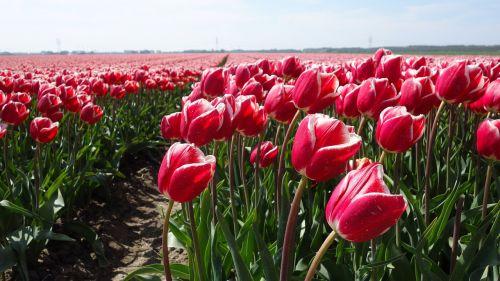 tulips tulip bulb