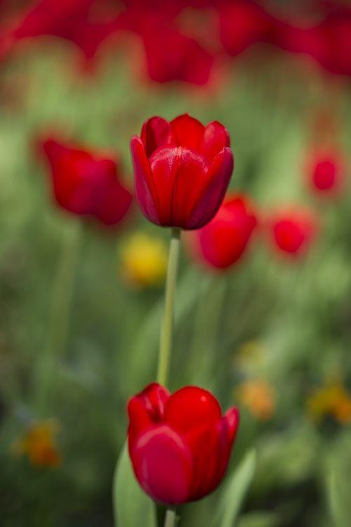 tulpės,raudona,gėlė,raudonos tulpės,augalas,sodas,pavasaris,gėlės,makro,gražus,gamta,žalias,ryški spalva,kraštovaizdis,parkas,sezonas,vasara,aplinkosauga,Terry,pavasario gėlės,birūs tulpės,Chan,gėlių paveikslėlis,Uždaryti