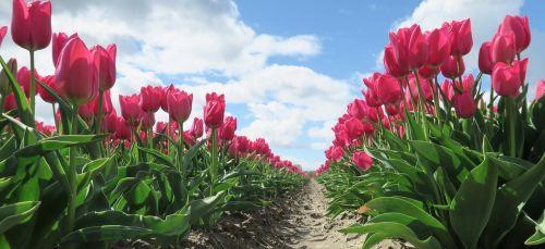 tulpės,gėlės,holland,gėlė,Nyderlandai,raudona tulpė,tulpė,svogūnėliai