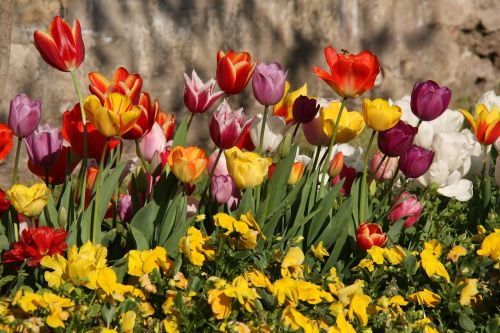 tulips spring color