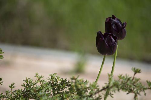 tulips black dark