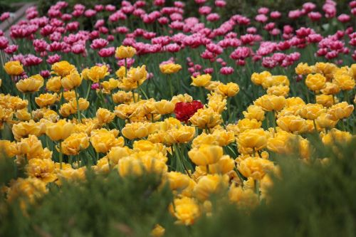tulips flower bed bright