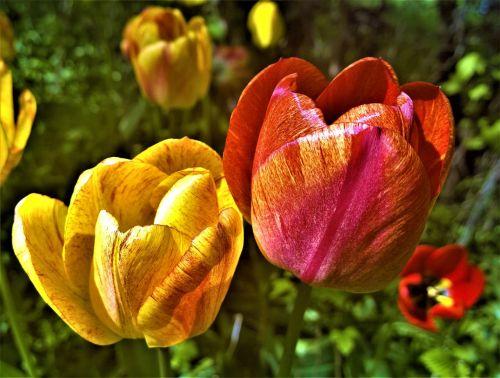 tulips flowers garden