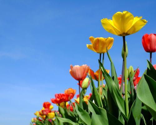 tulips flowers bloom