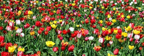 tulips tulip field tulpenbluete