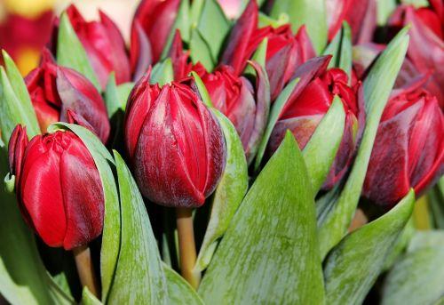 tulips flower blossom