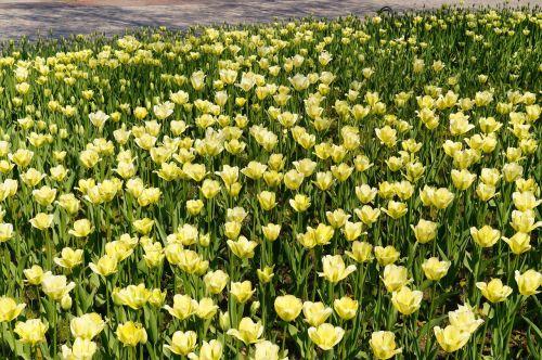 tulips tulip field yellow