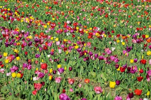 tulips  field  tulip field