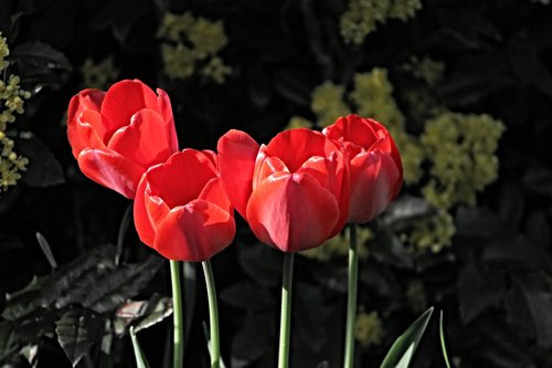 tulips  red  blossom