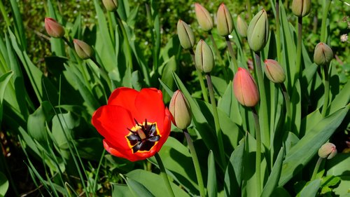 tulips  tulpenbluete  blossomed