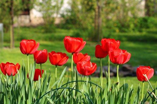 tulips  garden  flowering