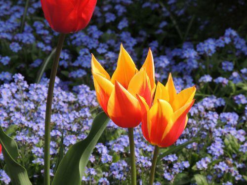 tulips macro bright red
