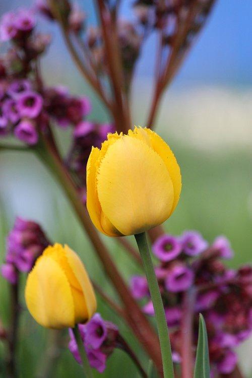 tulips  yellow flowers  yellow tulips