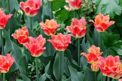 tulips  red tulips  flowers