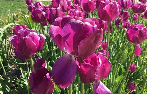 tulips  flowers  blooms