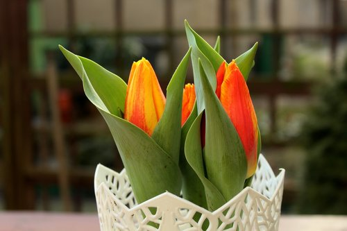 tulips  spring flowers  harbingers of spring