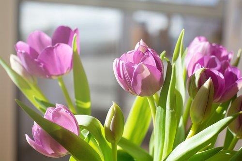 tulips  flowers  bouquet