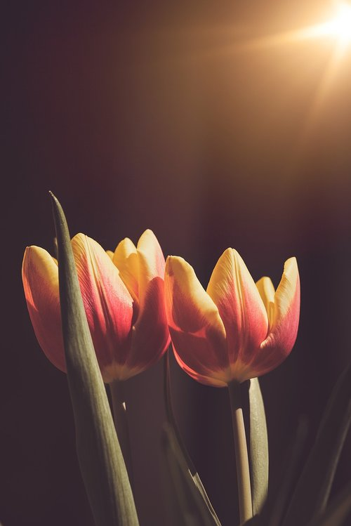 tulips  flowers  orange
