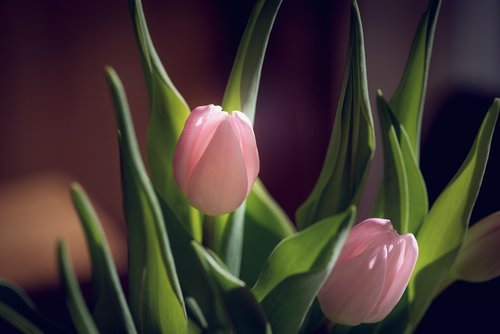 tulips  pink  tulips pink