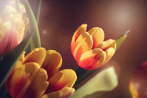 tulips  flowers  yellow