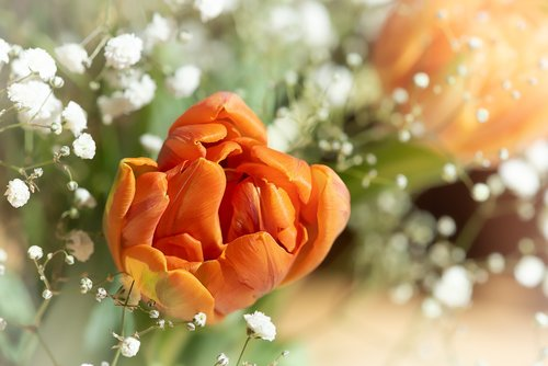 tulips  flowers  blossom