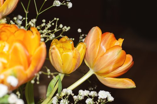 tulips  flowers  orange