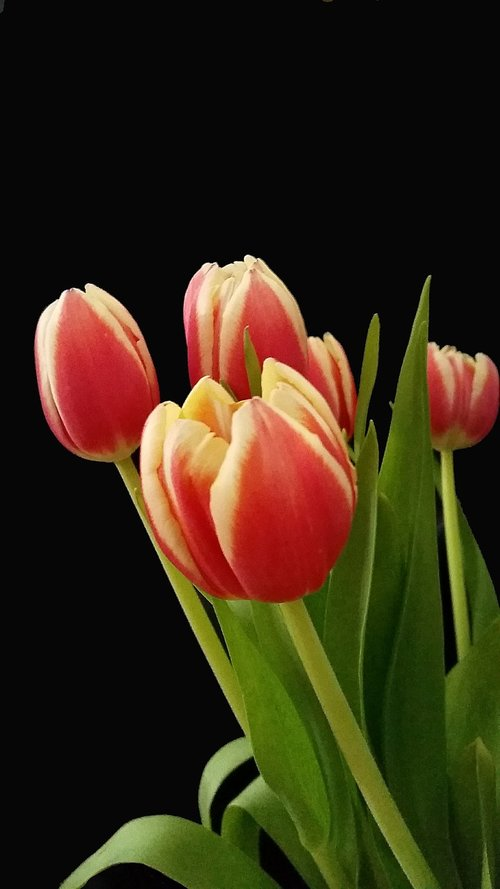 tulips  easter  spring