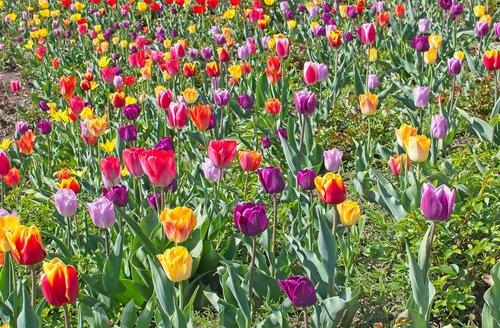 tulips  tulip field  spring