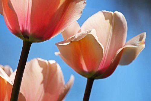 tulips  spring  april