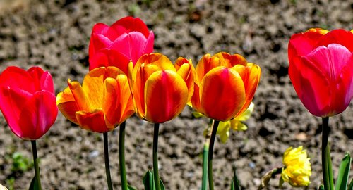 tulips  colorful  nature