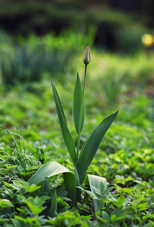 tulips  flower  spring