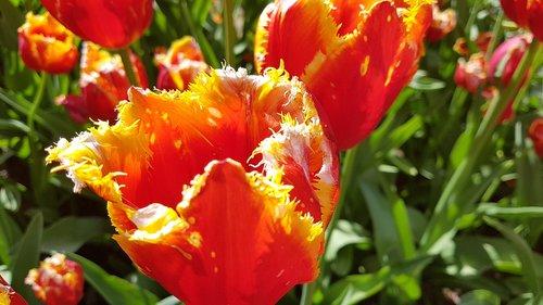 tulips  flowers  field of flowers