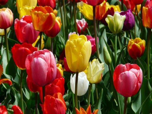 tulips tulpenbluete flowers