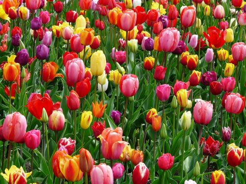 tulips flowers flower abundance