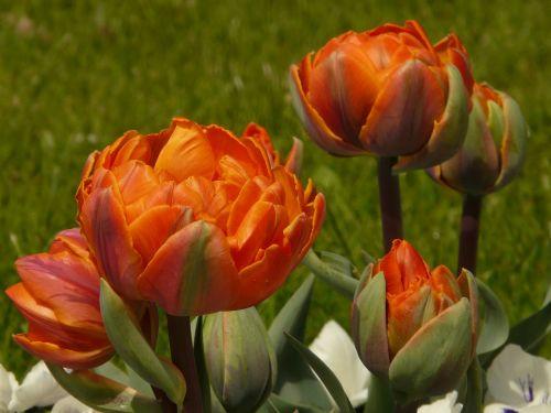tulpės,užpildytas,sodas,pavasaris,gėlės,oranžinė