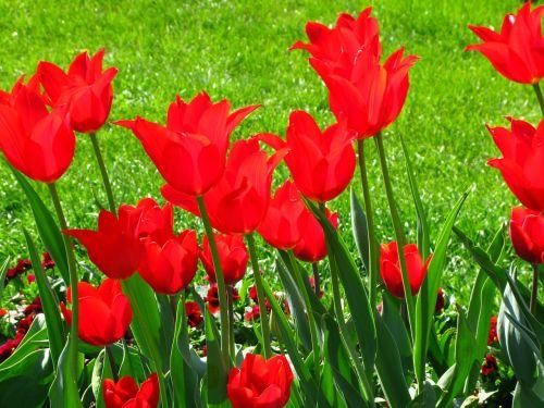 tulips flowers spring