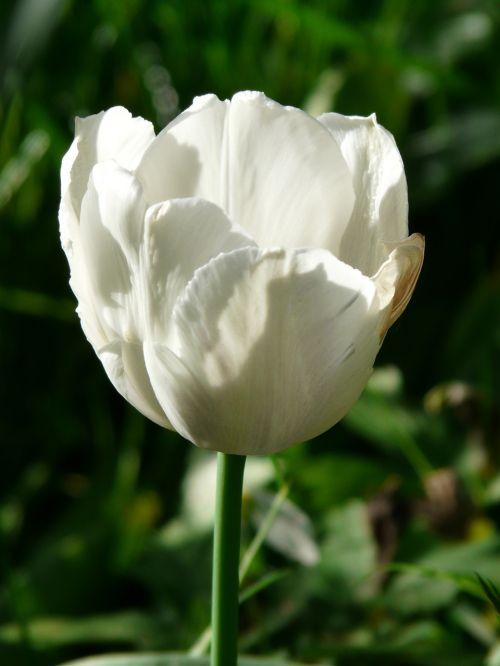 tulips white beautiful