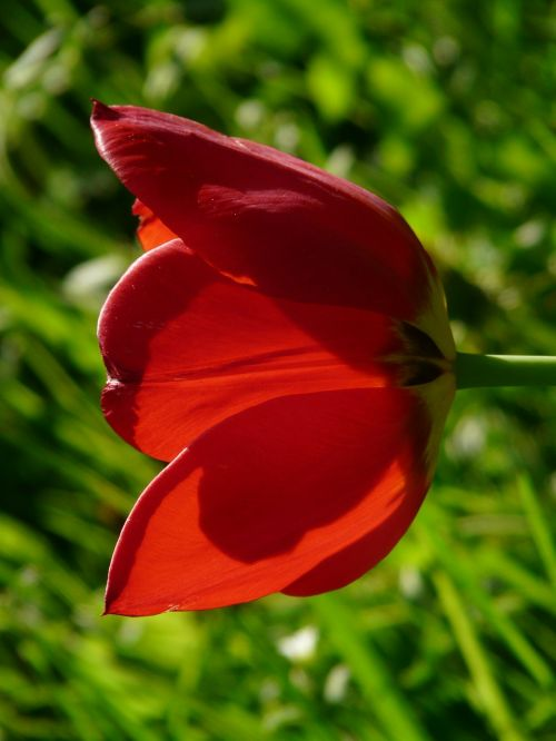 tulips red yellow